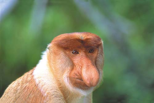 Labuk Bay Proboscis Monkey Sanctuary, Sandakan